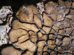[Acarospora pseudofuscata]