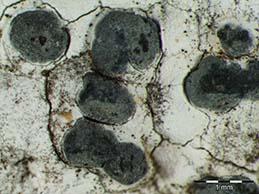 [Arthonia cretacea]