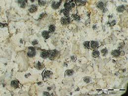 [Arthonia meridionalis]