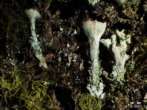 [Cladonia cryptochlorophaea]