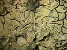[Protoparmeliopsis muralis]