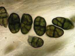 [Rhizocarpon geographicum]