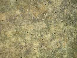 [Verrucaria baldensis]