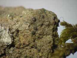 [Verrucaria geophila]