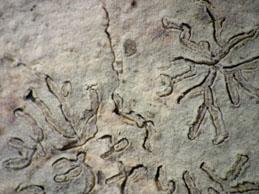 [D. hieroglyphicum]