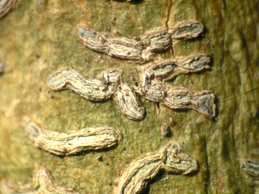 [A. subclavulifera]