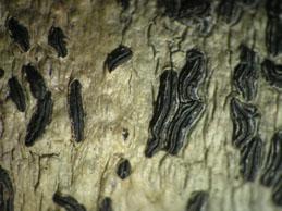 [A. elegans]