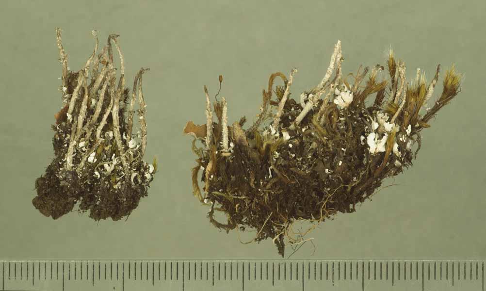 [Cladonia centrophora]