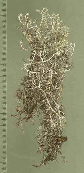 [Cladonia gigantea]