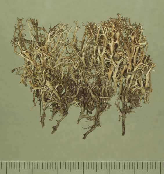 [Cladonia hedbergii]