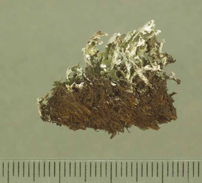 [Cladonia leucophylla]