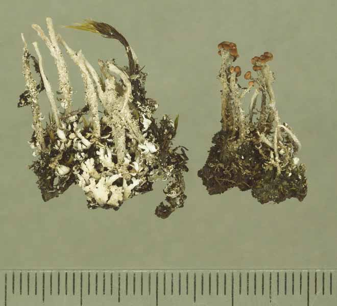 [Cladonia mauritiana]