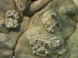 [M. neofrondosum]