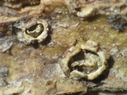 [C. platycarpa]
