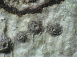 [T. monosporum]