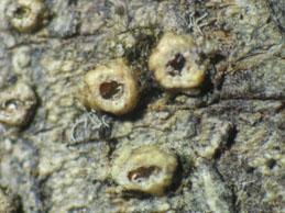 [T. scyphuliferum]