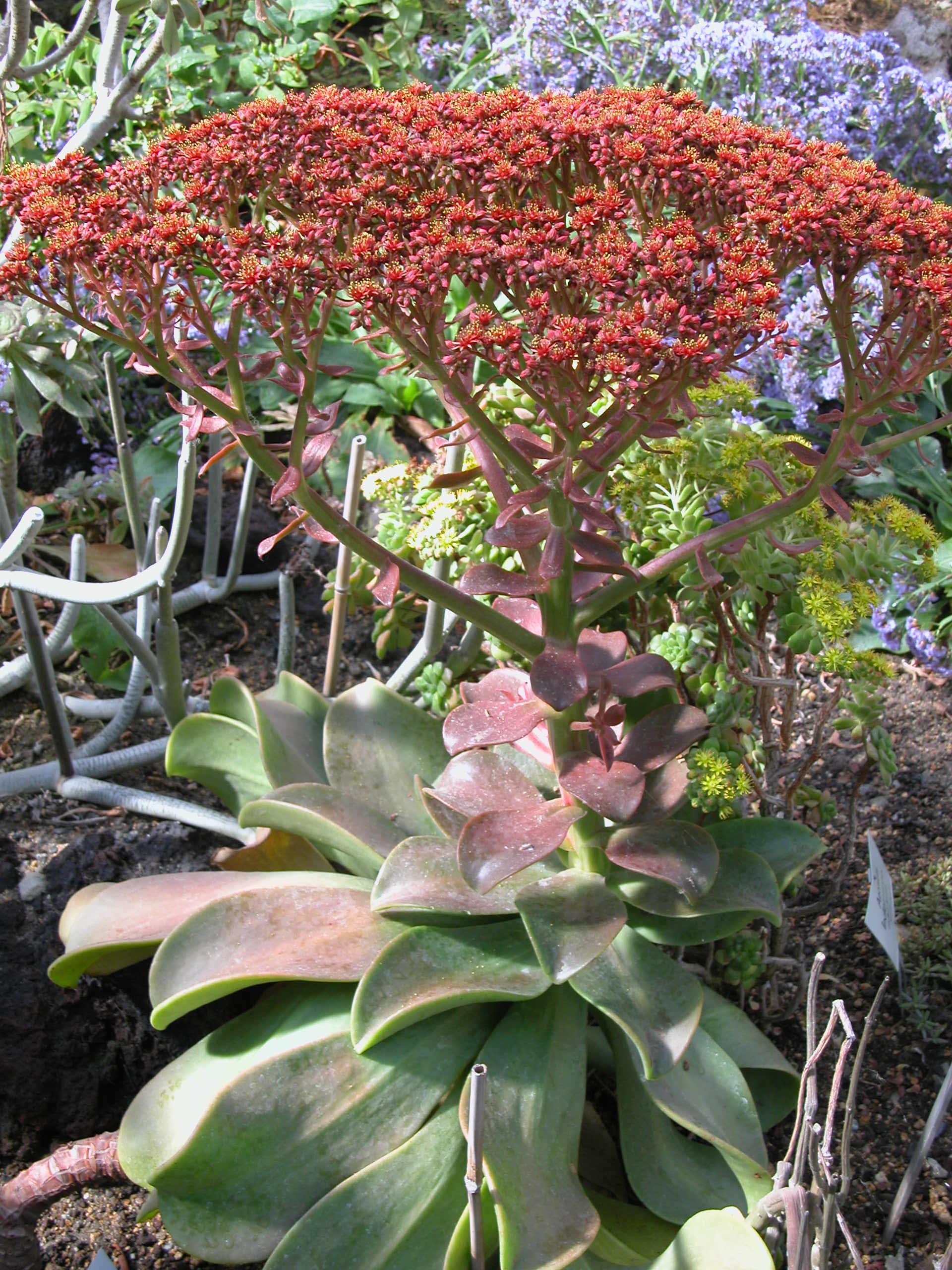 Edles Aeonium (Aeonium nobile). Foto: I. Haas / Botanischer Garten und Botanisches Museum Berlin