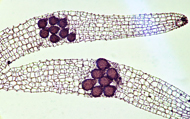 Die Samen der Orchidee Thecostele alata enthalten bis zu 12 Embryonen – vermutlich ein Rekord im gesamten Pflanzenreich © W. Barthlott / Botanischer Garten und Botanisches Museum Berlin-Dahlem