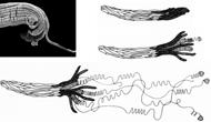 Die Samen der Orchidee Chiloschista lunifera entrollen bei Feuchtigkeit einen raffinierten Haftapparat aus spiraligen Anker-Fäden und können sich so in den höchsten Zweigen der asiatischen Baumriesen etablieren.© W. Barthlott / Botanischer Garten und Bota