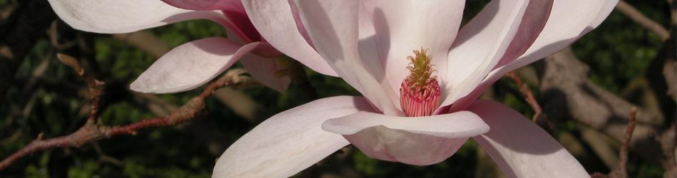 Magnolie - Magnolia x soulangiana