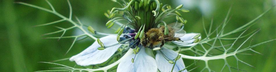 Jungfer im Garten - Nigella damascena