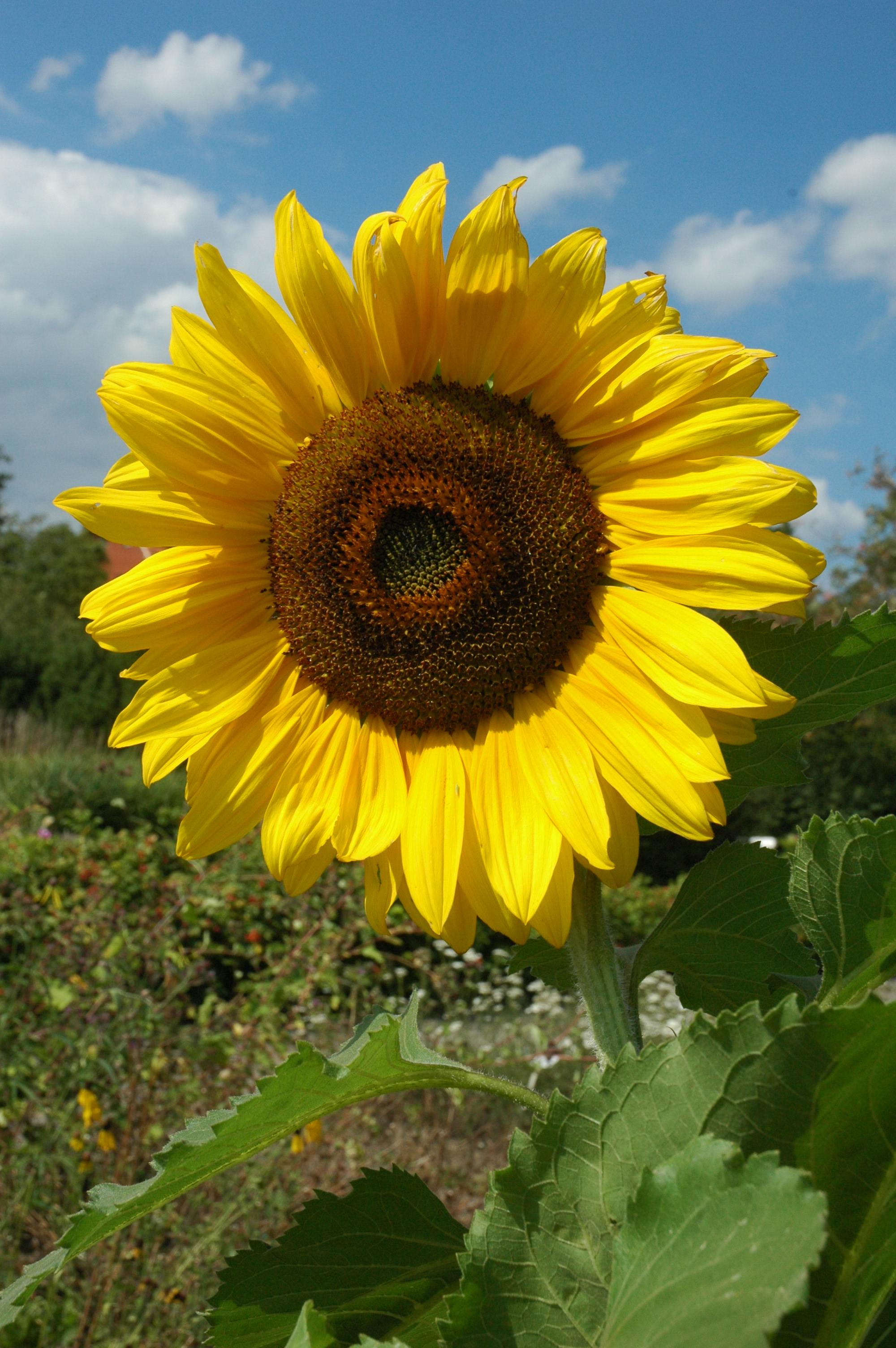 Die Sonnenblume | BGBM