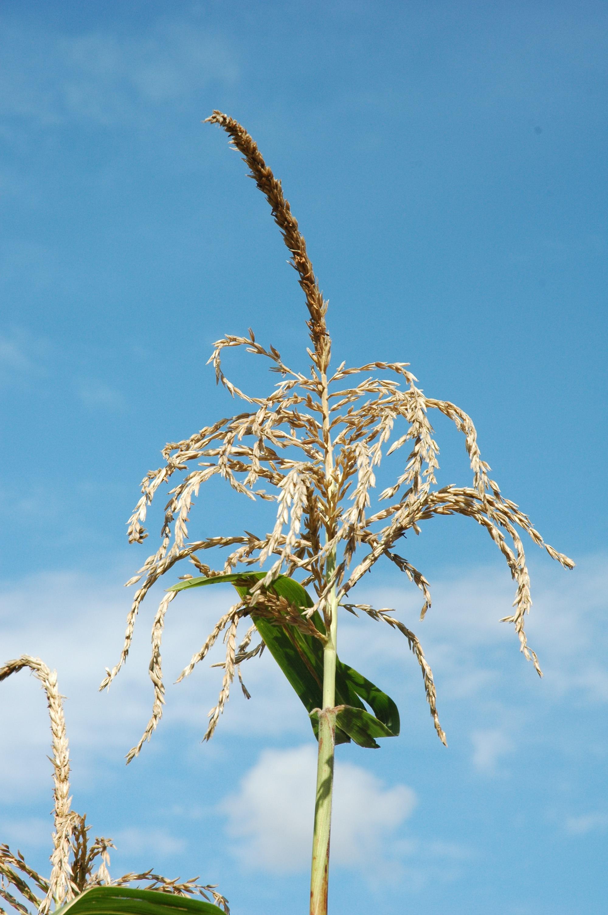 Mais und Teosinte | BGBM