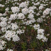 Sumpfporst (Ledum palustre), SW. Foto: I. Haas, Botanischer Garten Berlin