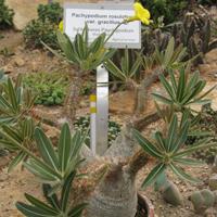 Pachypodium rosulatum var gracilius