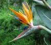 Paradiesvogelblume - Strelitzia reginae