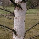 Papier-Birke (Betula papyrifera). Foto: I. Haas / Botanischer Garten und Botanisches Museum Berlin