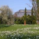 Frühling: Blick auf das Große Tropenhaus mit Dichternarzissen und Weichselkirsche