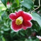 Camellia japonica - Tama-no-ura