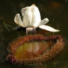 Amazonas Riesenseerose - Victoria amazonica