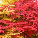 Herbstfärbung der Persischen Parrotie