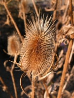 Weberkarde (Dipsacus sativus). Foto: I. Haas / Botanischer Garten und Botanisches Museum Berlin