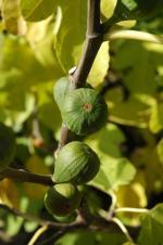 Ficus carica - Echter Feigenbaum