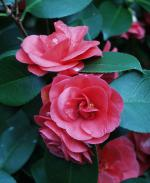 Camellia japonica - Lady Campbell