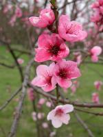 Pfirsich (Prunus persica), Foto: I. Haas, Botanischer Garten und Botanisches Museum Berlin-Dahlem