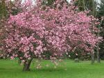 Japanische Blütenkirsche (Prunus serrulata) Foto: I. Haas, Botanischer Garten und Botanisches Museum Berlin-Dahlem