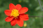 Dahlia coccinea. Die Dahlie ist Mexikos Nationalblume. Foto: T. Borsch