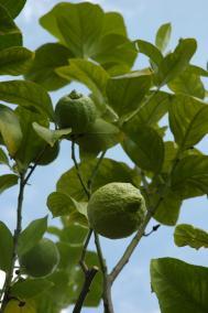Zitrone - Citrus limon