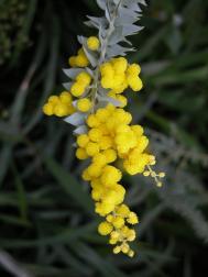 Messerförmige Akazie - Acacia cultriformis