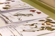 Belege im Herbarium