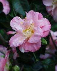 Camellia japonica - Kyo Nishiki