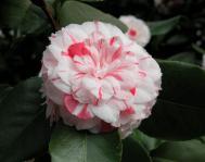 Camellia japonica - Mathotiana