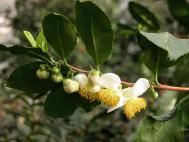 Teestrauch - Camellia sinensis