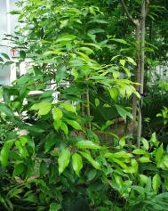 Zimt - Cinnamomum verum