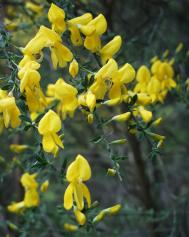 Besenginster - Cytisus scoparius