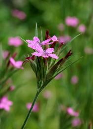 Rauhe Nelke - Dianthus armeria
